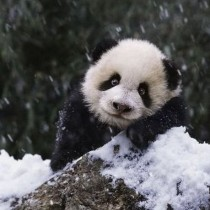 1261086175_1261019760_cute_panda_family_enjoys_the_first_snow